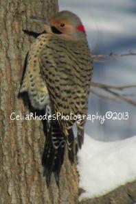Flicker 1, Watermarked     Woodpecker   12-22-2013 007