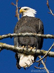 bald-eagle-17676986
