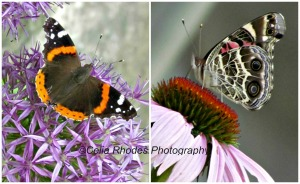 L, Monarch on Allium; R, American Lady on Coneflower