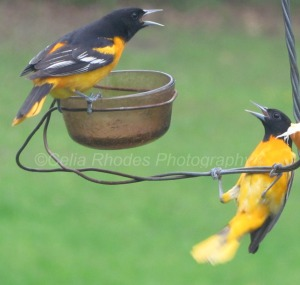 Backyard Squabble, E&C, Watermark     Orioles & Catbirds 5-15-2014 019