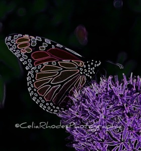 Best Monarch Photo, Crop III, Magenta Neon Fade+Ex-24 Hi+20, Watermark    Val's House May 3 2012 018