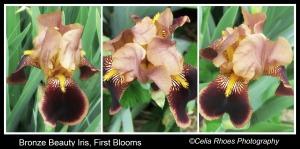 Bronze Iris Trio, Border, Caption, Watermark    PicMonkey Collage