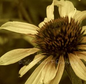 Coneflowr A, L Facing, Sepia53, Watermark, Offset Crop    Outdoor Shots  June 22 2012 025