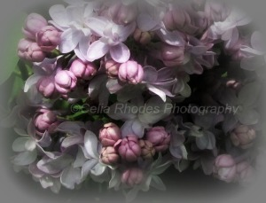 Double Lilac