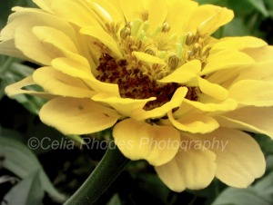 Flat Yellow, R+1812, E80, Crop, Watermark71      Bees on Zinnias, H-Birds, Peanut  8-22-2013 075