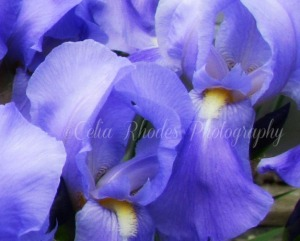 Iris Close Up II, Watermark     More clematis, Irises, et al 5-28-2014 041