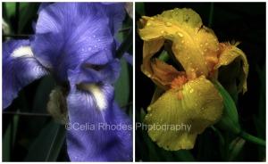 Iris Duo, PicMonkey Collage, Watermark