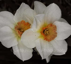 Jonquil Duo II, Horiz, Brushstroke81, Watermark     Lilac Days 5-08-2014 057