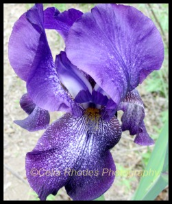 Simply Stunning, Crop II, Border, Watermark     New Iris, Cats in the Garden 5-27-2014 004
