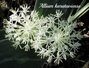 The Lacemaker, Botanical Print, Watermark    First Clematis & Other Blooms 5-28-2014 015