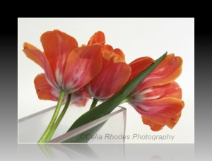 Coral Tulips, Back View, Reflecting Frame