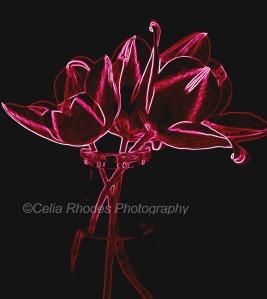 Tulips, Rose on Black, Watermark     Flowers In The Studio  5-04-2014 043