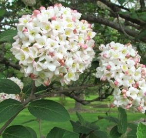 Viburnum Clusters