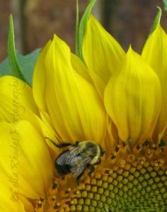 Bees onBee on Sunflower B, E39, Crop; Vert, Watermark     Zinnias, H-Birds, Peanut  8-22-2013 020