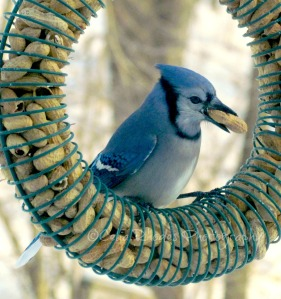Blue Jay with Peanut, Watermark