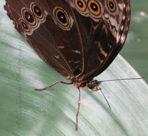 Brown Spotted, Facing Camera, E61, Crop, ExpAdj, Watermark      Reiman Gardens June 14 2014 243