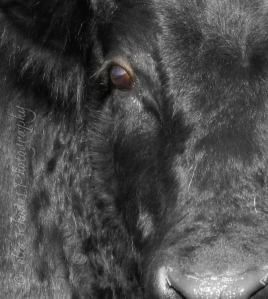 Bull, Close Crop II, FB&W8+Orton38, Watermark           Barn Shots 10-27-2012 014