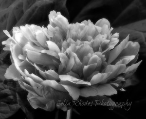 B&W Peony, Ex-36Hi9, Soft50, Watermark     Birds, Cats, Still More Peonies June 6 2014 007