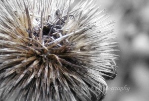 Coneflower II, FB&W+Orton, Crop, Watermark   11-03-2012 014