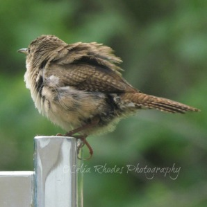 Ruffled Feathers II, Watermark       Nuthin' But Wrens June 23 2014 007
