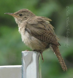 Ruffled Feathers, Watermark      Nuthin' But Wrens June 23 2014 004