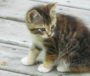 Tiger, E&C+Orton, Crop II, Watermark      Cleo's Kittens I  June 21 2012 026