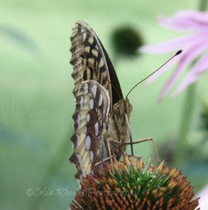 0121, Silver Screen, Watermark      Album 4, Bees and Butterflies July 10 2014 121