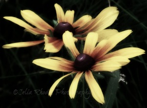 2 Daisies, Sat-37, Watermark      Flowers, Birds, Critters at Dena's July 2 2014 044