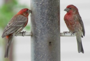 2 Finches II, E67, Crop, ExpAdj   Flowers, Birds, Critters at Dena's July 2 2014 055