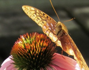 Butterfly IV, E94, Crop     New Lilies, Butterfly on Coneflowers July 9 2014 021