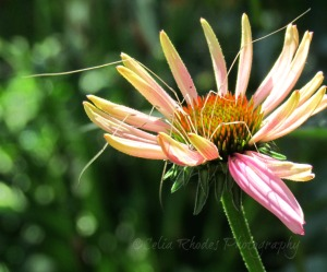 Coneflower with Spider Legs, Watermark       Lilies and Duck July 3 2014 011