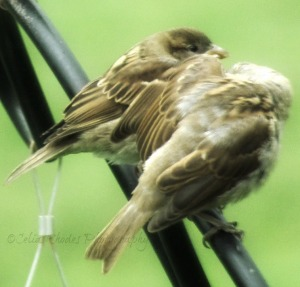 Confidentially, Watermark      Flowers, Birds, Critters at Dena's July 2 2014 116