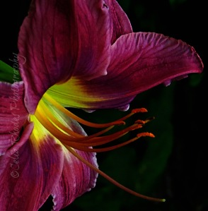 Dark Seduction, Color II, Rotate to R Facing, Watermark       Duck, New Lilies July 18 2014 025