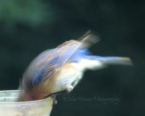 Diving for Worms, Watermark       Birds & Lilies Album III July 15 2014 001