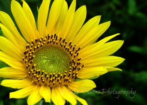 Golden Glory, R7.45, Darkened, Watermark      Flowers, Birds, Critters at Dena's July 2 2014 169