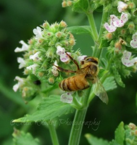 Honeybee on Raspberry Blossoms, E&C, ExpAdj, Watermarked       Birds, Lilies, Cats July 6 2014 032