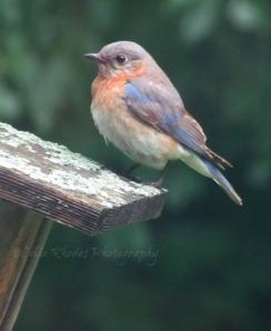 Mama Bluebird, Watermark      Birds, Lilies, Cats July 6 2014 001
