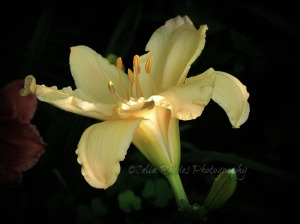 Pale Gold Lily, Vig+Sat-29, E27, Watermark      Early AM Shoot July 17 2014 024