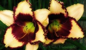 Ruffled Splendor, Ex-26+Orton, E45, Crop, Watermark       Latest Lilies, Kittens  7-07-2-13 003