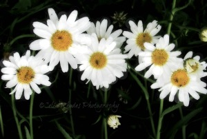 Chorus Line, Watermark      Birds, Lilies, Cats July 6 2014 021