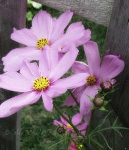 Cosmos I, Watermark       Vacation Photos I July 2014 499