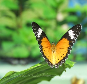 Gold & Black Butterfly, Crop, Watermark       Vacation Photos I July 2014 366