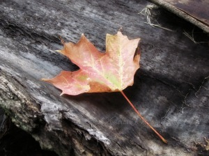 Autumn, Slight Darken, Orton 99 69 29, Watermark   Cats, Etc. SEP16 2014 023