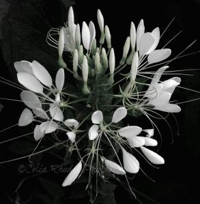White Flower Cluster, Ex10, Darkened, Crop; Sat-61, Watermark     Vacation Photos I July 2014 779