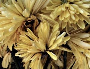 Golden Petals, Ex-27Sat-17, Clar23; Watermark     Mums&Dried Leaves, Crop II, Ex-12Sat-50       Yard Walk, Mushroom  Oct 23 2014 059