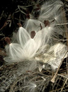 Milkweed Seeds, E53, Crop, Sat-53T+25; Watermark       Afternoon Yard Walk, Sept 27 087 (3)
