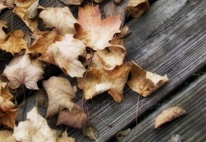 Windswept II, Watermark      Squirrel, Leaves  NOV 4-2014 028