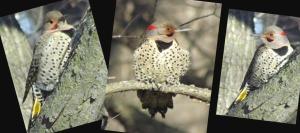 Flicker Trio        Ribbet collage