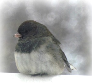 F Junco II, Version II, Prev Edits+Bokeh, Int22, WhiteMist69 20, Ex-11Sh17, Watermark        Ex, Sh&ClarAdj, E44, Crop       Birds, Sun Dogs  JAN 9 2015 032