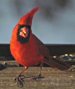 Amusing Cardinal Image, New Watermark              Goose, Cardinals  MAR 6 2015 023